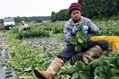 Latino and Hispanic farm workers