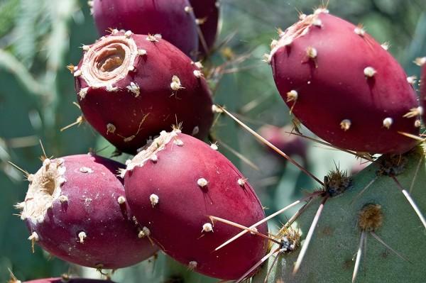 Perennial Prickly Pear Cactus