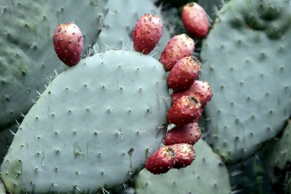 Cactus Pad Spineless Thornless Edible