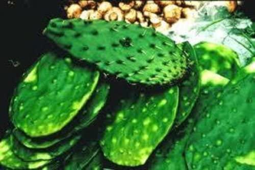 Nopalitos Spineless Prickly Pear Cactus Pads