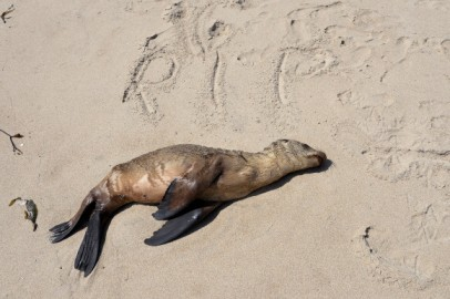 Stranded Sea Lions Rescued In Southern California