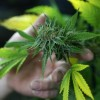 Frequent use of marijuana is linked to arrhythmia and stroke among the youth.