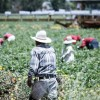 MV May Face Labor Shortage Due to Changes is H-2A Visa Processing for Migrant Workers