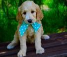 Top 6 Goldendoodle grooming tips