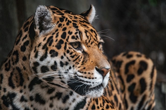 Florida Man Clawed by Jaguar After Crossing Zoo Barrier