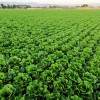 Vaccine Salad: Scientists Are Developing Edible Plants That Can Carry the Same Medication as Pfizer, Moderna COVID Shots