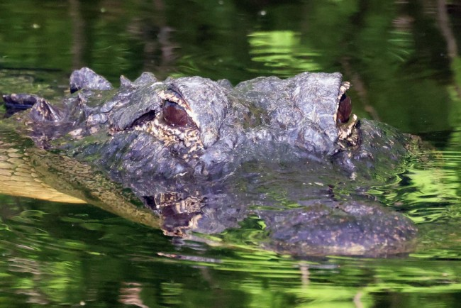 74-Year-Old Florida Woman Gets Bitten by Alligator While Trying to Save Her Dog From Its Jaws