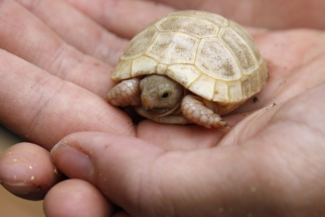 Some Rare Albino Turtles Discovered in Mexico and Spain