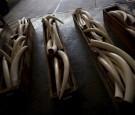 elephant-ivory-tusks